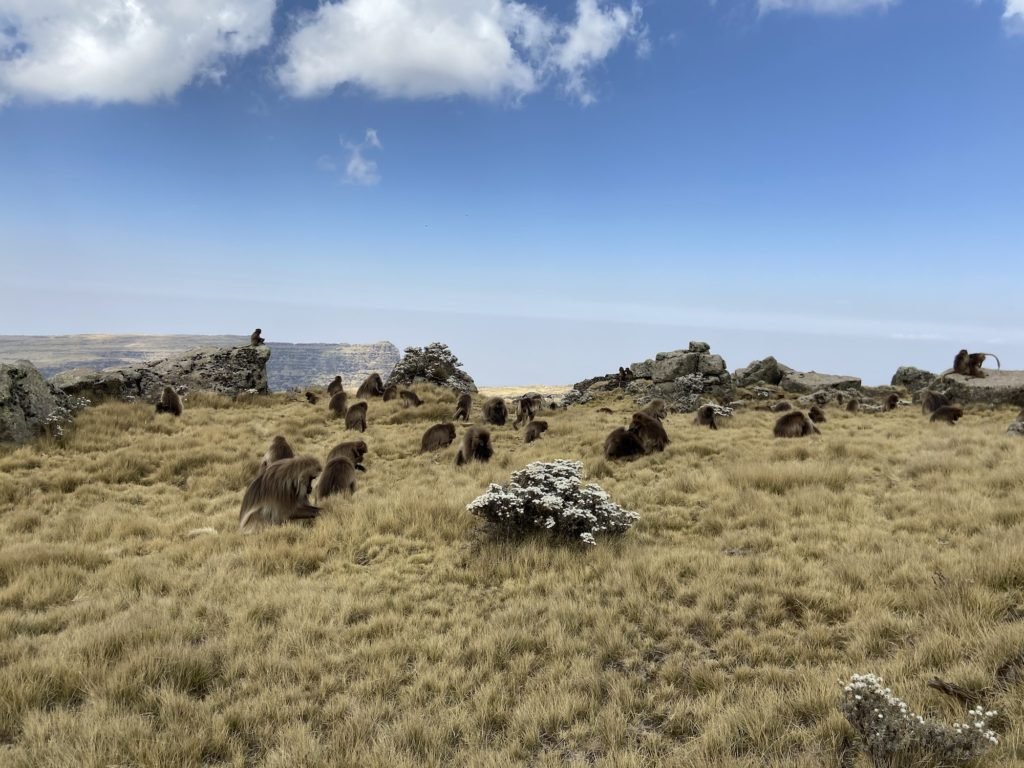 Gelada apen Simien Mountains